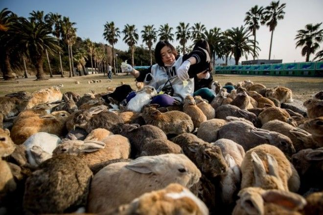 TAKEHARA JAPAN FEBRUARY 24 Two tourists sit and feed hundreds of rabbits at Okunoshima Island on February 24 2014 in Takehara Japan Okunoshima is a small island located in the Inland Sea of Japan in Hiroshima Prefecture The Island often called Usagi Jima or Rabbit Island is famous for its rabbit population that has taken over the island and become a tourist attraction with many people coming to the feed the animals and enjoy the islands tourist facilities which include a resort six hole golf course and camping grounds During World War II the island was used as a poison gas facility From 1929 to 1945 the Japanese Army produced five types of poison gas on Okunoshima Island The island was so secret that local residents were told to keep away and it was removed from area maps Today ruins of the old forts and chemical factories can be found all across the island Photo by Chris McGrathGetty Images ORG XMIT 475026027