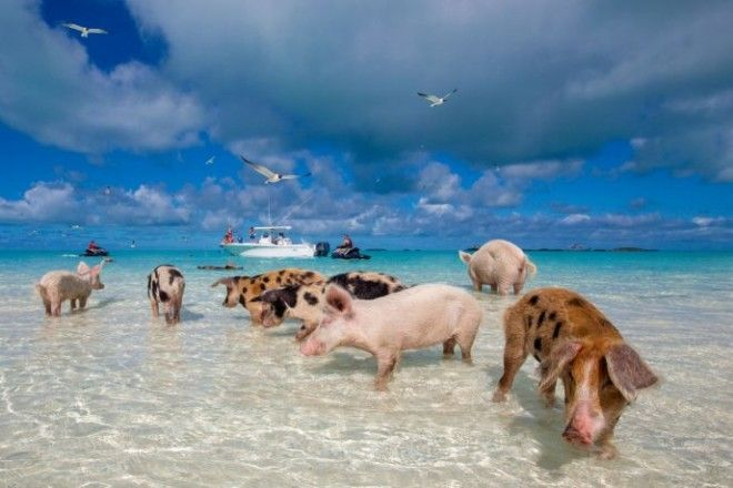 paybeachbumpigs